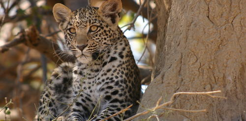 Leopard im Moremi Nationalpark