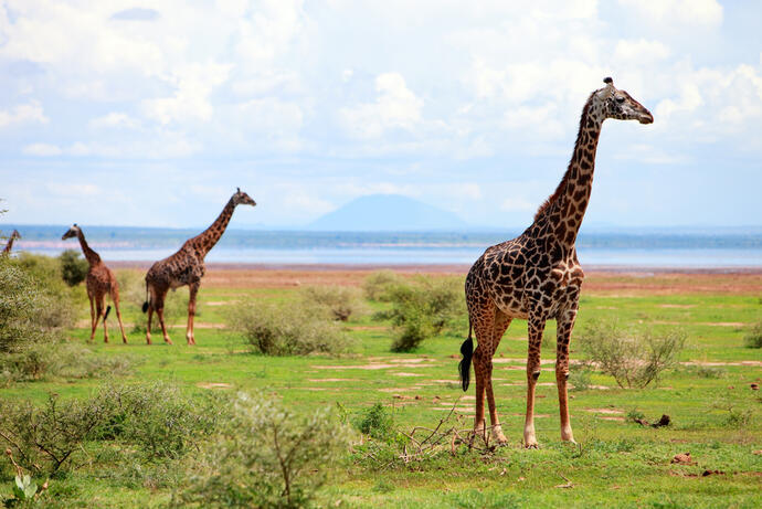 Giraffen am Lake Manyara