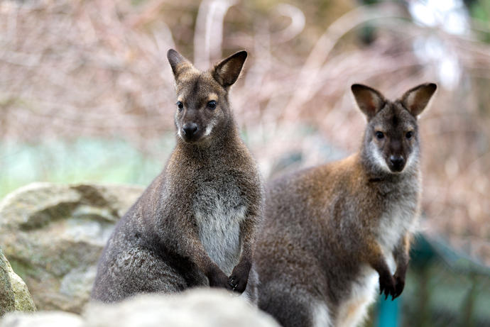 Wallabies im Nationalpark