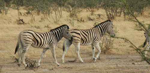 Zebras in einem der Nationalparks