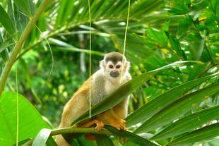 Affe in Manuel Antonio