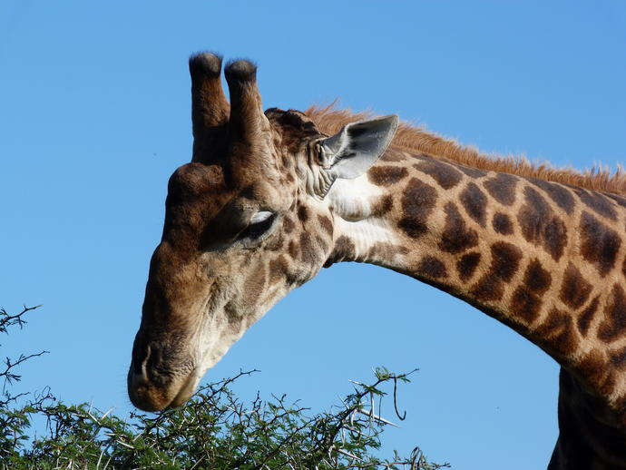 Giraffe im Addo Elephant Nationalpark