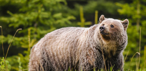 Wilder Grizzly Bär