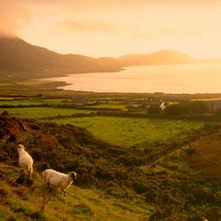 Grasende Schafe am Ring of Kerry