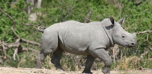 Nashorn im Moremi Nationalpark