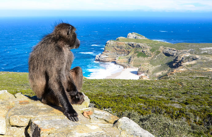 Affe am Cape Point