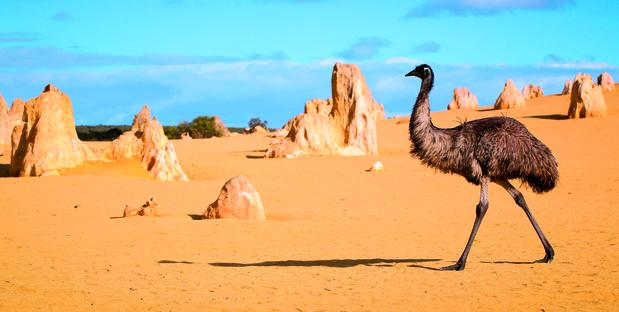 Emu_in_Pinnacles_Desert