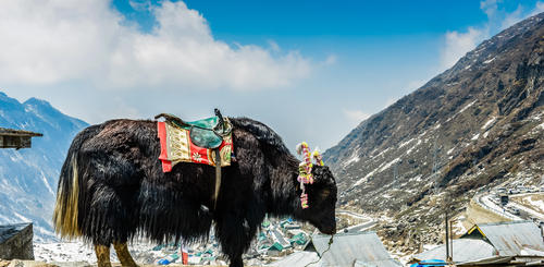 Yak in Sikkim
