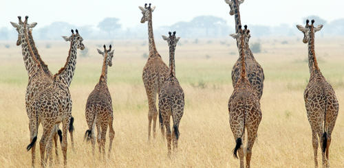 Giraffen im Serengeti Nationalpark