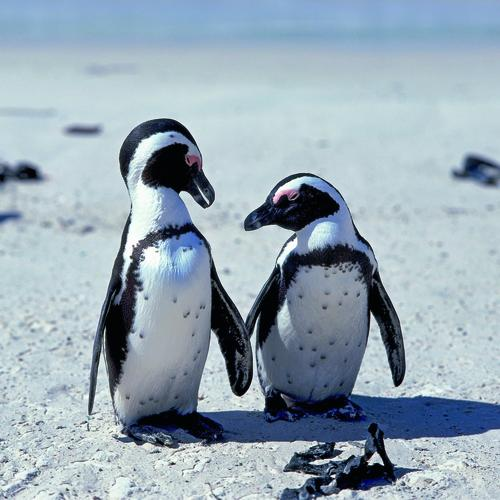 Pinguine in der False Bay Bucht
