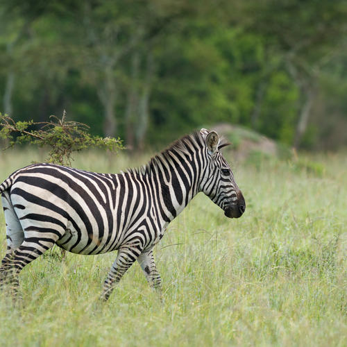 Zebra im Lake Mburo Nationalpark