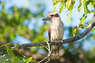 Kookaburra im Nationalpark