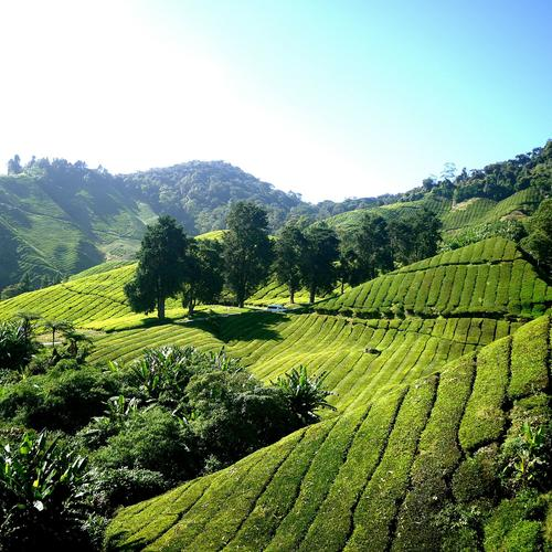 Teeplantage in den Cameron Highlands