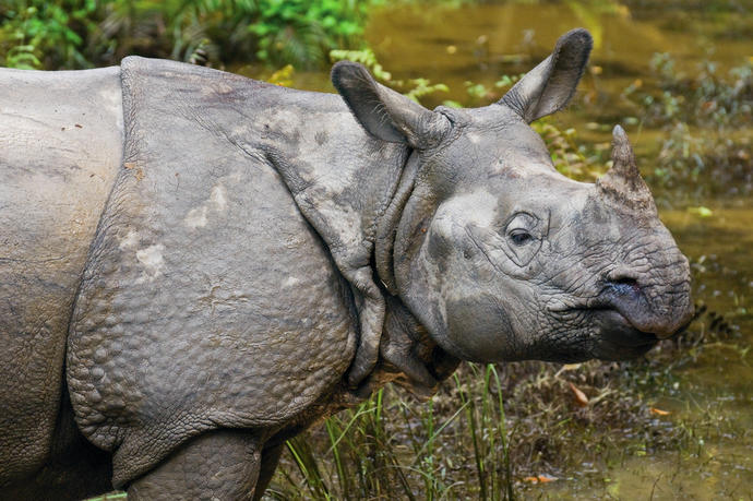 Nashorn im Royal Chitwan Nationalpark